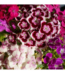 Klinček bradatý plnokvetý - zmes farieb - Dianthus barbatus - semená Klinčeka - 300 ks