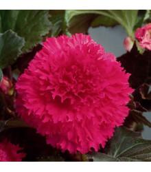 Begónia strapkatá ružová - Begonia fimbriata - cibule begónie - 2 ks