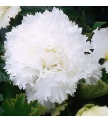 Begónia strapkatá biela - Begonia fimbriata - cibule begónie - 2 ks