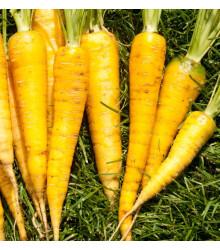 Mrkva Yellowstone - Daucus carota - semená mrkvy - 0,5 gr