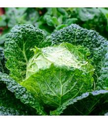 Kel Entira F1 - Brassica oleracea - semená kelu - 40 ks