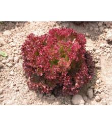 Šalát listový Crimson - Lactusa sativa L. - predaj semien šalátu - 0,3 g