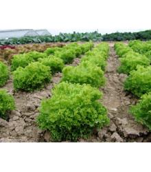 Šalát Rekord - Lactusa sativa - semená šalátu listového - 0,3 gr