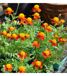 Aksamietnica rozložitá Orange flame - Tagetes patula nana - semená aksamietnice - 100 ks