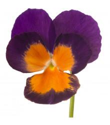 Fialka Jolly Joker F2 - Viola wittrockiana - predaj semien fialiek - 20 ks
