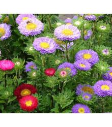 Astra čínská - Serenade zmes farieb - Callistephus chinensis - semená astry - 110 ks