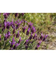 Levanduľa francúzska - Lavandula stoechas - semená levandule - 0,02 gr