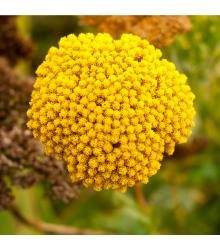 Rebríček túžobníkový Cloth of Gold - Achillea filipendula - predaj semien trvaliek - 0,1 g