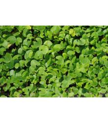 Strieborný dážď - Dichondra repens - predaj semien - 8 ks