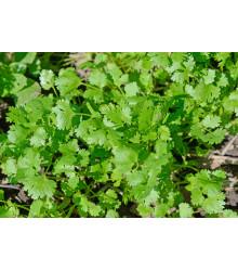 Koriander siaty Cadiz - Coriandrum sativum - semená koriandra - 100 ks