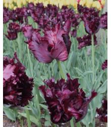 Tulipán Black Parrot - Predaj cibuľovín - Holandské tulipány - 3 ks