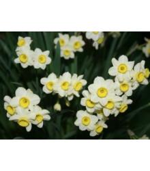Narcis Minnow - miniatúrne narcisy - predaj cibuľovín - 3 ks