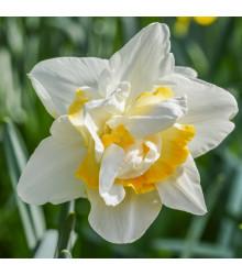Plnokveté narcisy - Narcis White Lion - predaj cibuľovín - 3 ks