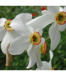 Narcis Poeticus Pheasant eye Recurvus - predaj cibuľovín - plnokveté narcisy - 3 ks