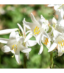 Ľalia biela liečivá - Lilium candidum - Holandské cibule ľalie - 1 ks