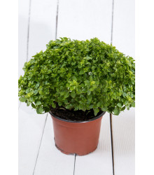 Bazalka pravá vonná Piccolino - predaj semien bazalky - Ocimum - 0,2 g