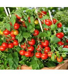 Paradajka Donna - Predaj semien paradajok - Lycopersicon esculentum - 5 ks