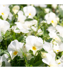 Sirôtka Schweizer Riesen Firnenschnee - Viola wittrockiana - predaj semien sirôtky - 200 ks
