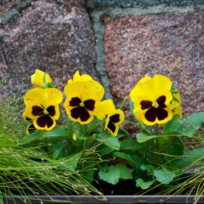 Sirôtka Schweizer Riesen Goldgelb - zlatožltá - Viola wittrockiana - predaj semien sirôtky - 30 ks