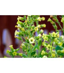 Tabak sedliacky - Machorka - semená - 200 ks
