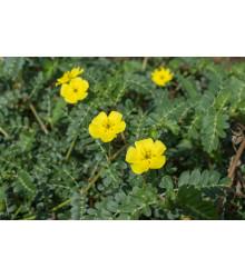 Kotvičník zemný - Tribulus terrestris - semená kotvičníka - 7 ks