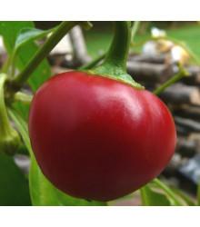 Chilli Pimento - Capsicum sinense - Semiačka chilli papričiek - 6 ks