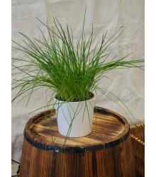 Pažítka pražská - Allium schoenoprasum L.- semená pažítky - 750 ks