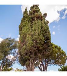 Cyprus portugalský - Cupressus lusitanica - semená - 7 ks