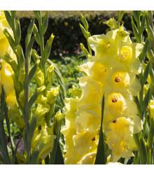 Gladiola Gold žltá - cibuľky - 3 ks