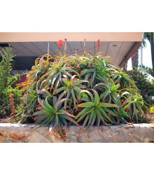 Aloe arborescens - predaj semien aloe - semená - 6 ks - predaj semien