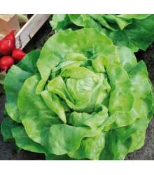Šalát hlávkový maslový Mafalda - Bio osivo šalátu - Lactusa sativa - 0,1 g