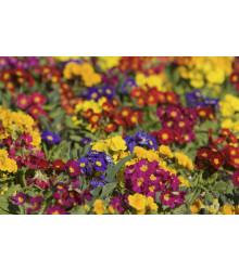 Prvosienka bezbyľová zmes farieb Primula acaulis - 70 ks