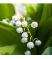 Konvalinka voňavá - Convallaria majalis - cibuľky - 1 ks