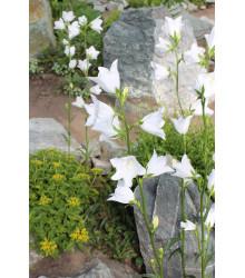 Zvonček broskyňolistý biely - Campanula persicifolia alba - osiva trvaliek - 0,02 g
