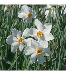 Narcis poetický voňajúci - Actaea - narcisy cibuľoviny - poeticus Actaea - 3 ks