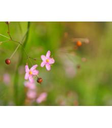 Ženšen korejský- Portulaka metlinatá - Talinum paniculatum - semená ženšenu - 15 ks