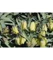 Korunkovka Pontica - Fritillaria Pontica - predaj cibuľovín - 3 ks