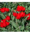 Tulipán viackvetý - Praestans - predaj cibuľovín - holandské tulipány - 3 ks
