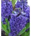 Modrý hyacint Blue Pearl - cibuľky predaj - 1 ks
