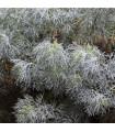 Palina pravá - Artemisia absinthum - semiačka - 0,02 g
