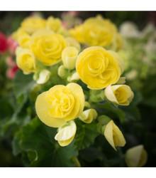 Begónia drobnokvetá žltá - Begonia multiflora maxima - cibule begónie - 2 ks