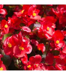 Begónia drobnokvetá červená - Begonia multiflora maxima - cibule begónie - 2 ks