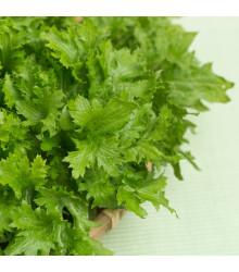 Horčica Wasabina - Brassica juncea - predaj semien ázijskej zeleniny - 120 ks