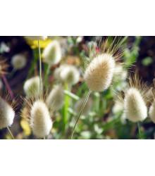 Zajačí chvostík - Lagurus ovatus - predaj semien - 20 ks