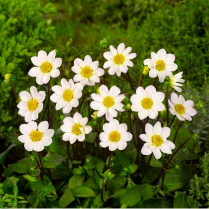 Georgína topmix biela - Dahlia - predaj cibuľovín - 1 ks