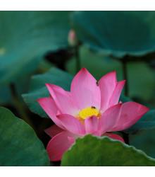 Lotos indický ružový - Nelumbo nucifera - semená Lotosu - 2 ks