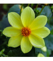 Georgína topmix - žltá - cibuľky - 1 ks