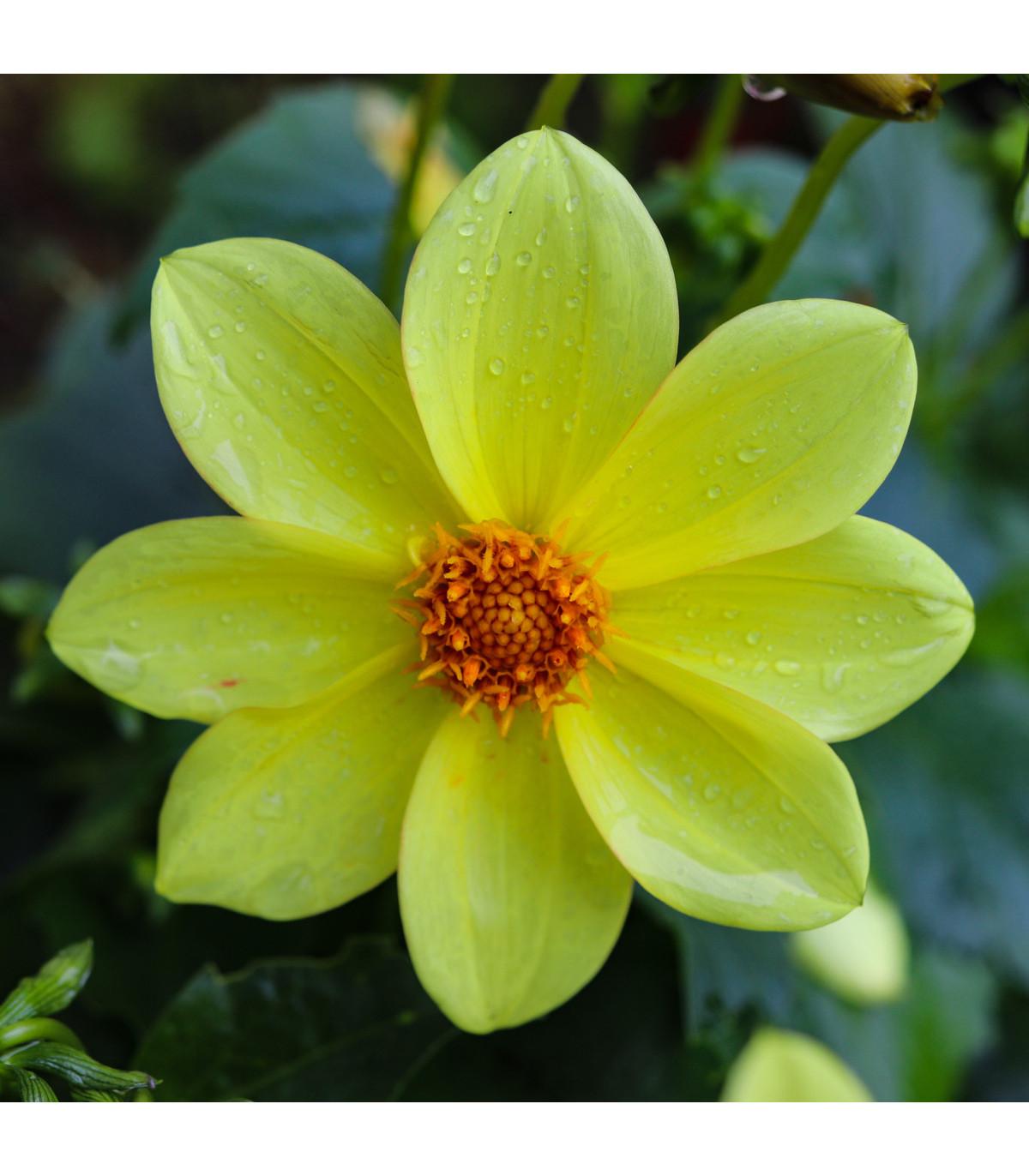 Georgína topmix žltá - Dahlia - predaj cibuľovín - 1 ks