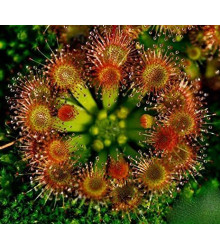 Rosička okrúhlolistá - Drosera rotundifolia - semená - 10 ks