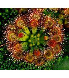 Rosnatka okrúhlolistá - Drosera rotundifolia - semená - 10 ks